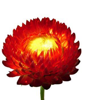 Tặng hoa bất tử có ý nghĩa gì