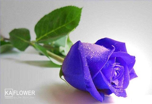 tặng hoa hồng tím có ý nghĩa gì