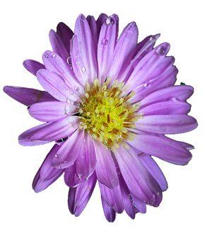 Tặng hoa thạch thảo có ý nghĩa gì ?