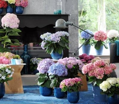 Bó hoa Cẩm Tú Cầu