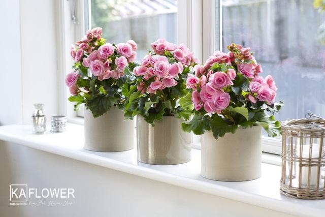 Cách trồng và chăm sóc chậu hoa Thu Hải Đường