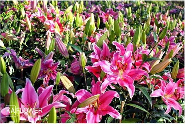 cách chọn hoa ly đẹp