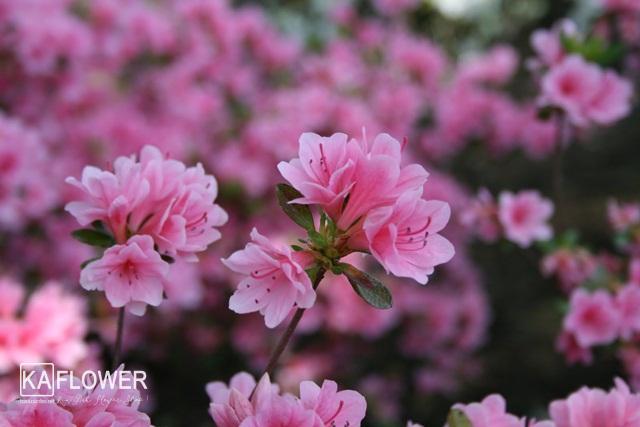 Tặng hoa Đỗ Quyên có ý nghĩa gì ?