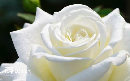 hỉnh ảnh hoa hồng trắng