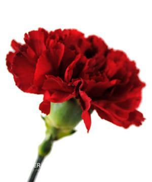 Tặng hoa cẩm chướng có ý nghĩa gì ?