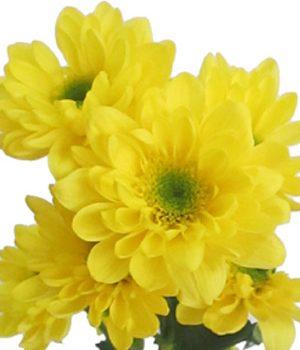 Tặng hoa cúc có ý nghĩa gì