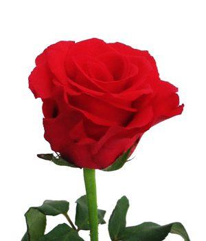 Tặng hoa hồng có ý nghĩa gì