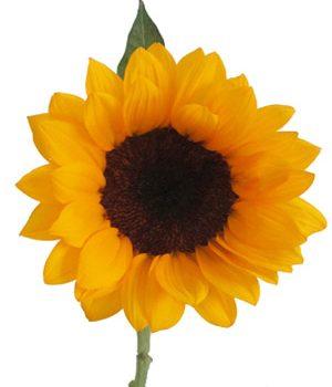 Tặng hoa hướng dương có ý nghĩa gì ?