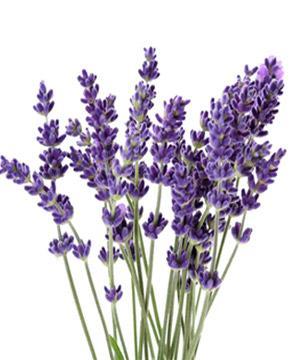 Tặng hoa lavender có ý nghĩa gì