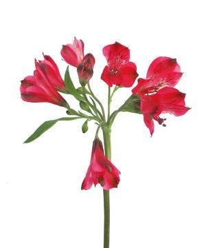 Tặng hoa thủy tiên có ý nghĩa gì