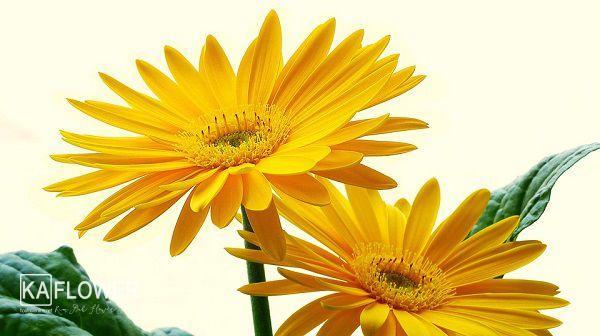 Cua hang hoa tuoi hoa vang da nang